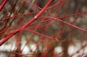 красные ветки